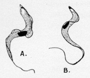 trypanosoma-gambiense